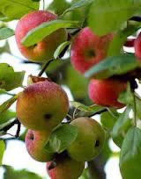 Witzgall Apple Orchard